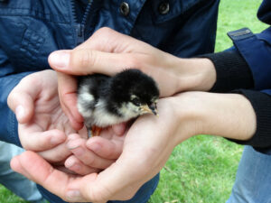 A child holding chick at Elmscroft
