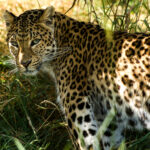 Photograph of a leopard in the shade